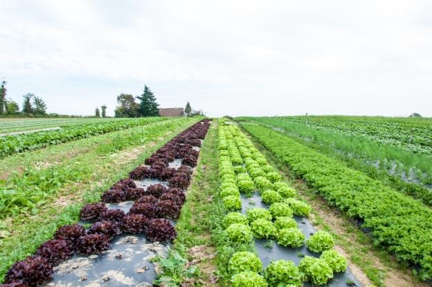 """Salade """"Feuilles de chene"""" dans les champs"""