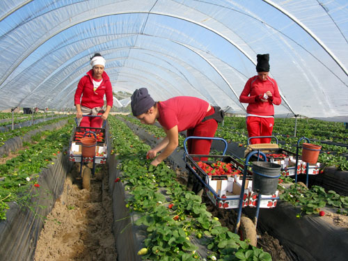 Espagne-ouvrie_res_agricoles_dans_champs_de_fraises_bio-14f67.jpg