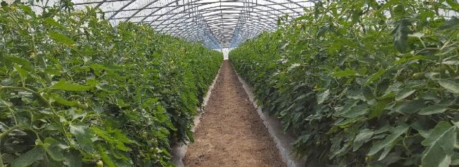 tomates sous serre-19 juin 2017
