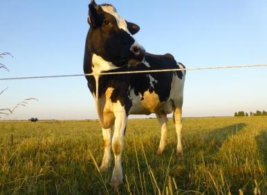 Une_vache