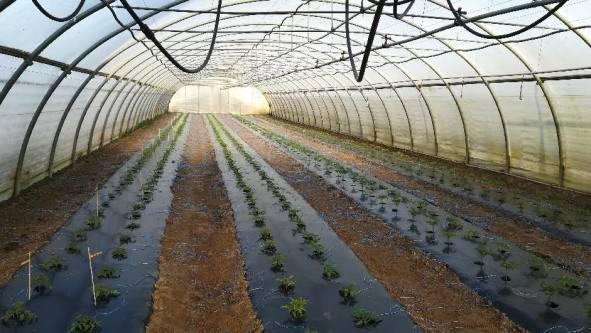 Tomates 3.jpg
