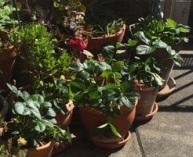 Plants-fraisiers-------------PlanSerre