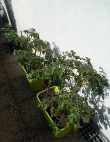 Tomates_20200519
