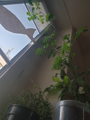 Tomates_Thymcitronne