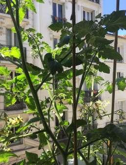 Trois_plants_de_tomates