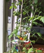 Plan_de_40_tomates_200620