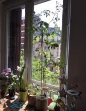 Plant_de_tomates_geant_200620