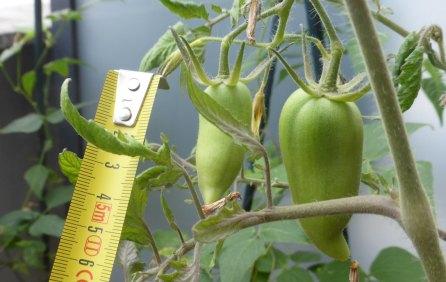 Tomates_andines_GrosPlan_270620