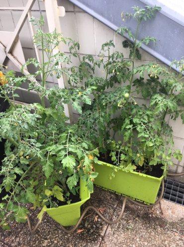 Tomates_juin2020_Picpus