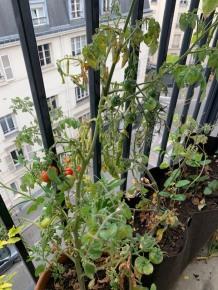 Tomates_Picpus_210620_image3